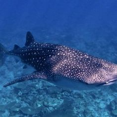 Whale Sharks: Swimming with the World's Largest Fish - nature.org La Paz, Mexico