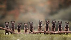 10 Little Malinois Puppies Dog Jacqueline Boxtel Photography Pastor Belga Malinois, Cute Puppies, Dogs And Puppies, Malinois Puppies, Dog Pictures, Bird, Cats, Photography, Animals
