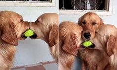 Adorable video shows golden retrievers fighting over a tennis ball #DailyMail   See this & more at: http://twodaysnewstand.weebly.com/mail-onlinecom