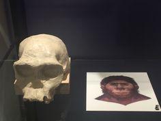 Homo habilis 2.4 tot 1.8 miljoen jaar geleden