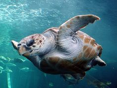 Sea turtles or marine turtles are turtles that inhabit all of the world's oceans except the Arctic. Most species of sea turtle are endangered .