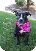 Gilbert, AZ - Pit Bull Terrier Mix. Meet BABY, a dog for adoption. http://www.adoptapet.com/pet/11273743-gilbert-arizona-pit-bull-terrier-mix