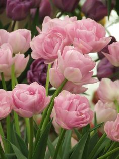 Double Pink Tulips - Gorgeous !