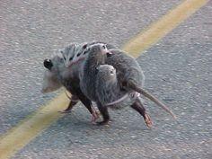 Dumb Animals, Animals And Pets, Baby Animals, Tree Rat, Baby Possum, Pretty Animals, Opossum, Animal Memes, Animal Humour