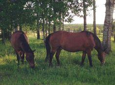 Ojibwe horses - http://www.cbc.ca/news/canada/thunder-bay/rare-horse-population-preserved-1.3457529