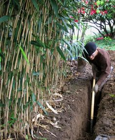 Did you know soils planted with bamboo experience little erosion? Bamboo is often planted on hills and slopes to stabilize the terrain. If you're worried about erosion, plant bamboo!