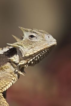 Giant horned lizard - Dinosaurs live! No, seriously.