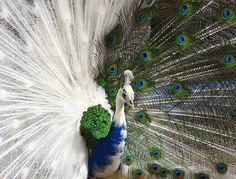 Half albino peacock; It's a chimera (twins that are mixed into one animal instead of becoming two separate bodies. This can even happen with people!) Very rare and beautiful