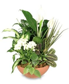 Order Blooming Dish Garden Green & Blooming Plants from Annandale Plaza Florist - Annandale, VA Florist & Flower Shop. White Flowering Plants, Blooming Plants, Potted Plants, Plant Pictures, Flower Pictures, House Plant Care, House Plants, Flower Shop Network, Sympathy Plants