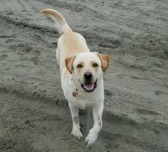 Goldador (Labrador Retriever Golden Retriever Mix) Dog For Adoption Seattle WA – 5 YO F – Adopt Molly Today #goldador #goldenretriever #labradorretriever #seattle