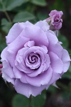 I have a lavender rose bush like this. Just can't remember it's name.