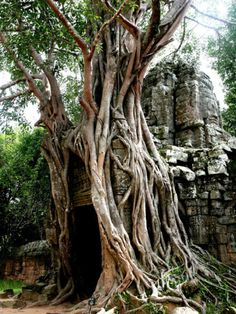 Jungle Trees in Angkor Wat