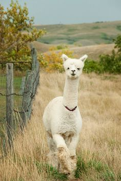 Alpacas | Here's To The Amazing Animals Who Give Us Yarn