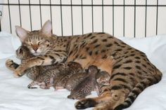A Savannah cat is a cross between a domestic cat and the serval, a medium-sized, large-eared wild African cat. The unusual cross became popular among breeders at the end of the 1990s, and in 2001 the International Cat Association accepted it as a new registered breed The Savannahs' tall and slim build gives them the appearance of greater size than their actual weight. This mom has a beautiful litter, of this fairly new breed.