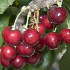 Sweetheart Cherry Tree fruit