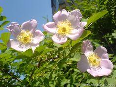 Шиповник, цветение