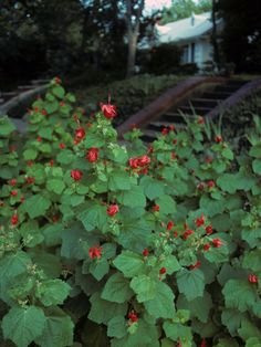 Turk's Cap [Malvaviscus arboreus] - Deciduous shrub, 2-3+ feet (reportedly as tall as 9 feet).  Part Shade or Shade. Cold and drought tolerant. Moderate deer resistance. Attracts birds, butterflies, and hummingbirds.  The fruit, flowers, and leaves are edible.