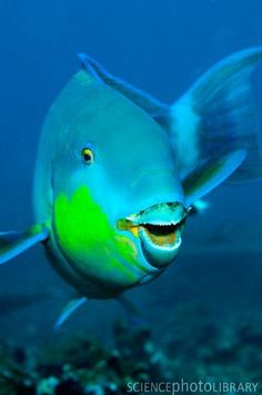 Parrotfish, Thailand Underwater Creatures, Ocean Creatures, Weird Creatures, Underwater Photos, Underwater World, Underwater Photography, Film Photography, Street Photography, Landscape Photography