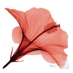Close Up of Red Beauty II Art Print by Albert Koetsier at Art.com
