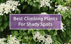Shade-loving climbers are ideal for brightening up dark north and east-facing walls and fences. These shaded spaces are often unused in the garden, but there are plenty of plants hardy enough to thrive there. Climbers are also a great way to maximise your garden space and cover
