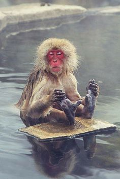 Alongando-se! Imagine how good the warmth of the water feels to this oh so cold Japanese Macaque.