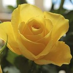 Rose (Yellow)