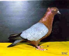 Archangel Pigeon Pigeon Loft Design, Le Pigeon, Animals And Pets, Cute Animals, Pigeon Pictures, Create An Animal, Pigeon Breeds, Racing Pigeons, Exotic Birds