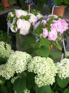 ✿ how about some hydrangeas?? LOVE LOVE this beautiful flowers. blue, white, purple or pink. @Kelly Schneider