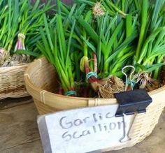 Growing garlic indoors is not difficult and you'll be able to get the supply of fresh green stalks, flowers, and even the garlic bulbs. Learn more! If you have ever wondered about how to grow . Growing Garlic In Pots, Growing Herbs, Grow Garlic, Growing Veggies, Onion In Your Sock, Turmeric Lemonade, Natural News, Garlic Bulb, Natural Antibiotics