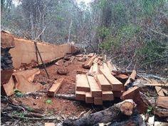 A Polícia Federal (PF) realizou ontem (23), uma operação para desbaratar uma organização criminosa que atuava na extração ilícita de madeiras nobres da Floresta Nacional de Roraima e na Terra Indíge ...