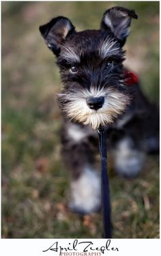 Mini Schnauzer puppy...what an adorable little puppy with such a sweet face