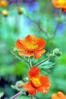 Orangefarbene Anemonen im Garten