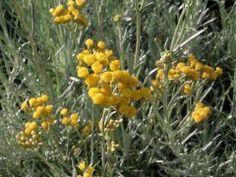Helichrysum italicum - smil italský, kari, maggi koření Zahradnictví Krulichovi…