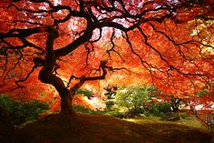 japanese maple tree portland oregon