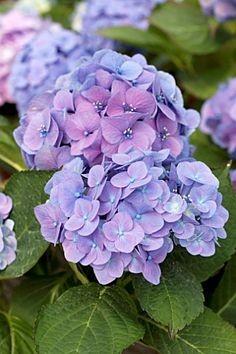 Hydrangea, so pretty..my grandmother had these around her front porch. I have loved them ever since that. One of my favorites