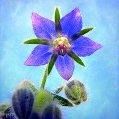 Borage: Borago officinalis [Family:Boraginaceae]