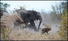 Elephant protecting her baby from hyenas