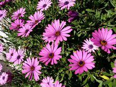 Osteospermum fruticosum freeway daisy African daisy perennial-full sun