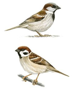 Some illustrations from a guide about the birds of a urban park in Spain. Sparrow Bird, Nature Sketch, Bird Illustration, Bird Drawings, Bird Pictures, Bird Prints, Art Sketchbook, Bird Art, Beautiful Birds