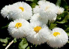 Daisy English White Dwarf, Perennial Flower Seeds, Butterflies, 25 Seeds