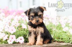 #Charming #PinterestPuppies #PuppiesOfPinterest #Puppy #Puppies #Pups #Pup #Funloving #Sweet #PuppyLove #Cute #Cuddly #Adorable #ForTheLoveOfADog #MansBestFriend #Animals #Dog #Pet #Pets #ChildrenFriendly #PuppyandChildren #ChildandPuppy #LancasterPuppies www.LancasterPuppies.com Yorkie Puppy For Sale, Puppies For Sale, Puppy Love, Small Dog Breeds, Small Dogs, Puppy Breath, Lancaster Puppies, Yorkshire Terrier Puppies, Animals Dog