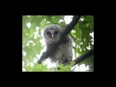 The Little Owl Song - YouTube