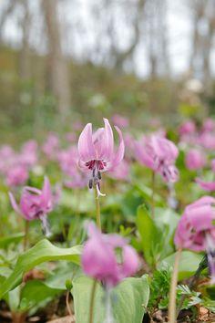 カタクリの花、春の山野草 、無料写真素材 ストックフォト