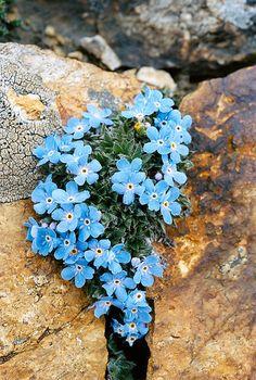 ERITRICHIUM NANUM (Eritrichio nano. Himmelsherold.Roi des Alpes.Triglavska neboglasnica). Boraginaceae | by apollonio&battista