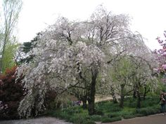 新宿御苑(shinjuku gyoen)、Tokyo、Japan、枝垂桜、My photo