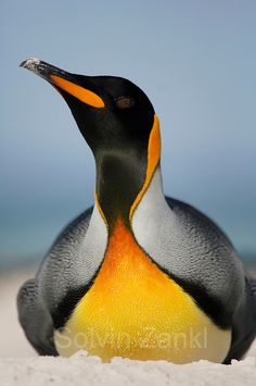 King penguin - View amazing King penguin photos - Aptenodytes patagonicus - on Arkive Penguin Life, King Penguin, Emperor Penguin, Ocean Creatures, All Gods Creatures, Beautiful Birds, Animals Beautiful, Animals And Pets, Cute Animals