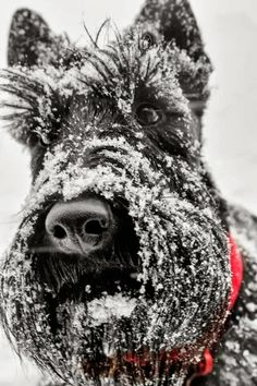 #82 bricolage: Scotties LOVE Snow http://bricolage-julier.blogspot.com