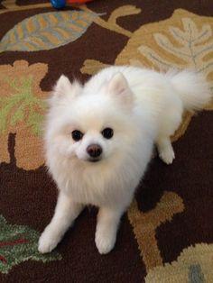 Bailey my Pomeranian