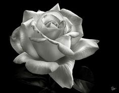 Perfect Rose in Black and White