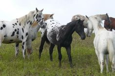 Horse Photo Album   Welcome To DayDream Appaloosa Horse Stud